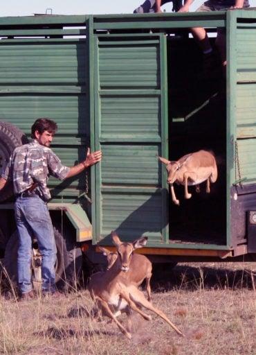 Antelopes set free