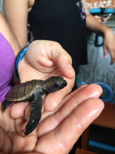 baby turtle in hands
