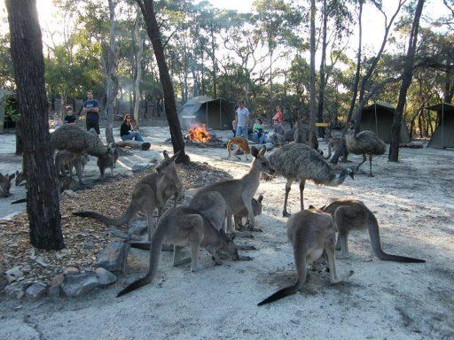 Australia-Bush-Kangaroos